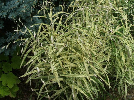 Variegated sea oats