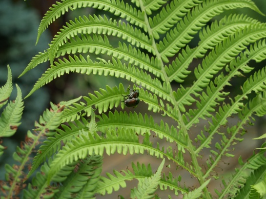 Japanese beetles on Ostrich fern