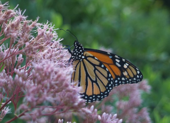 Monarch butterfly on Joe Pye weed. Swallowtails and bees are regular visitors, and occasionally Monarchs.