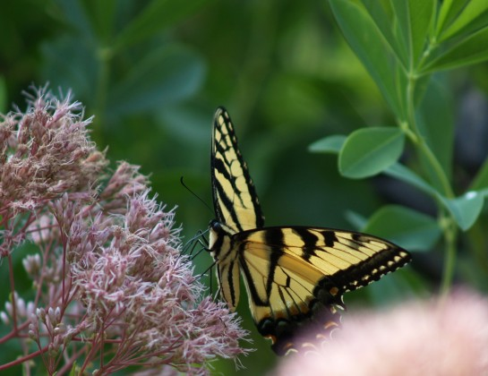 On a sunny afternoon there will be several, or a dozen Swallowtail butterflies on one large Joe Pye weed.