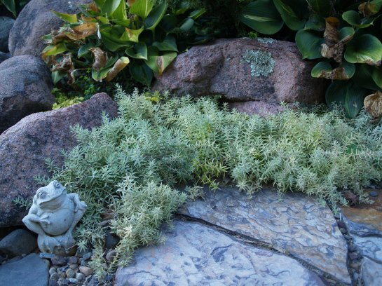 I have underutilized sedums, but this low growing variegated cultivar spreads moderately, creating a weed blocking blanket of foliage.