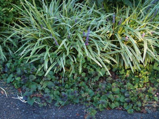 This combination of liriope and a dark leafed violet keep weeds in check except for a few sprigs of clover that manage to poke through.