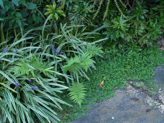 Liriope and Blue Star creeper border this bluestone path.