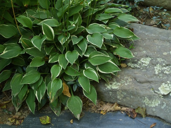 Hostas are a bit late to get started in the spring, but a few weeks after they begin to grow weeds are shaded.