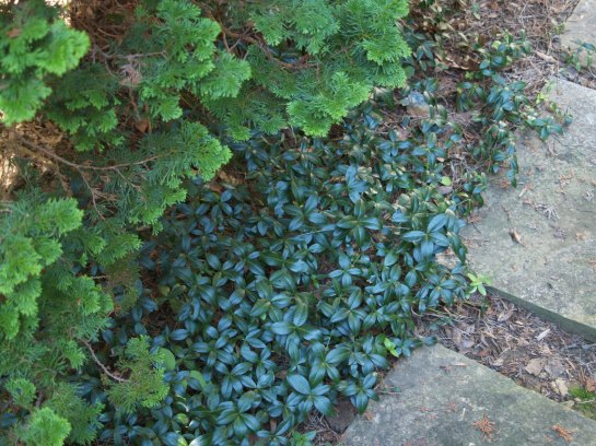 Periwinkle grows beneath a Hinoki cypress. This area requires little maintenance and no annual mulching.