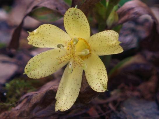 Tricyrtis ohsumiensis