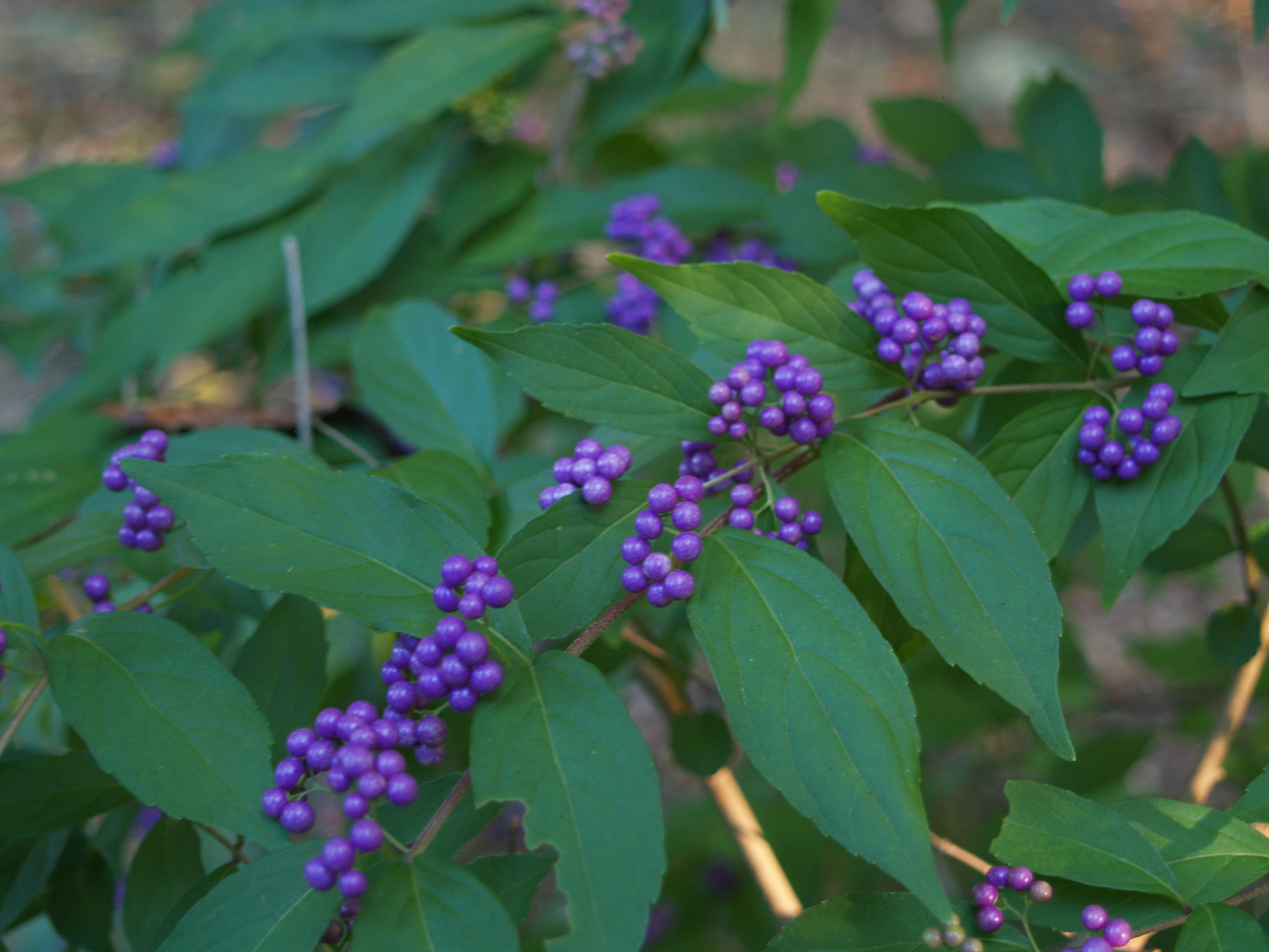 Purple And White On One Bush Ramblin Through Daves Garden
