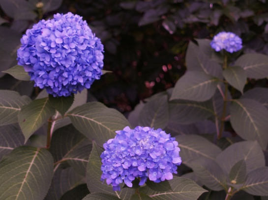 Reblooming mophead hydrangeas such as Endless Summer flower in late spring, rest in the heat of summer, then reset buds in cooler weather to flower until there is a hard freeze.