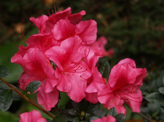 Autumn flowering Encore azaleas are hardly bothered by frost and temperatures within a few degrees of freezing.