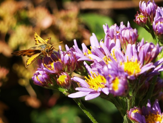 Jindai aster tolerates early freezes every autumn. This tall aster is often the last perennial standing, and it is regularly visited by bees and butterflies.