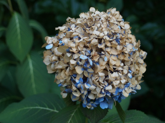 Flowers on mophead hydrangeas were brown along the edges after a night of frost, but turned almost completely brown at 28 degrees. There are more buds that will probably bloom in milder temperatures.
