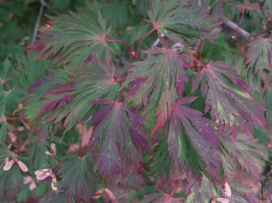 Fernleaf Japanese maple