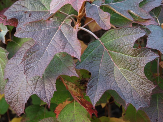 Leaves of Oakleaf hydrangea wll often persist into the new year