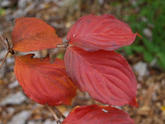 Foliage of Chinese dogwood in early November