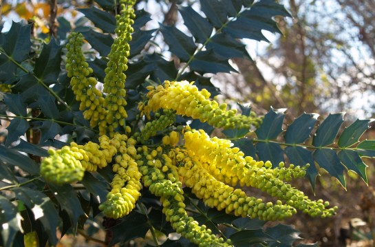 Winter Sun mahonia