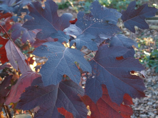 Oakleaf hydrangeas exhibit excellent autumn foliage color, with leaves that persist into December and occasionally into early January.