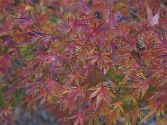 Okushimo Japanese maple has an upright habit, and green leaves that curl upwards. It is densely branched, but unexceptional compared to other maples until autumn.
