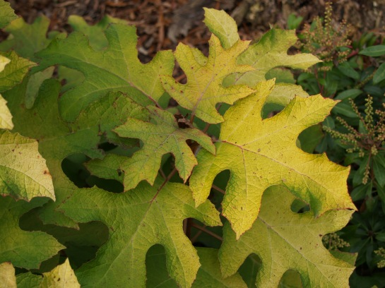 Little Honey has large, soft yellow leaves, but it flowers sporadically. In late November the foliage persists, with the yellow in stark contrast to the burgundy foliage of other Oakleafs.