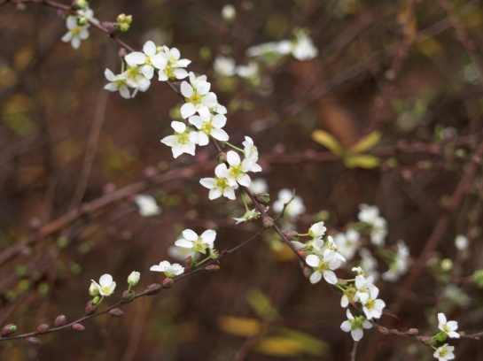 Ogon spirea flowered in late December