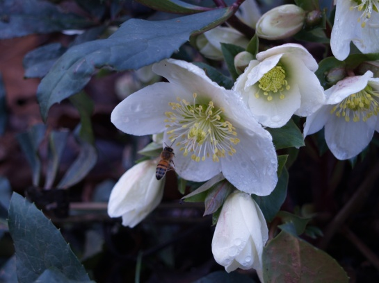Flowers on hellebores in a warm December are not surprising. Seeing bees in alte December is surprising.