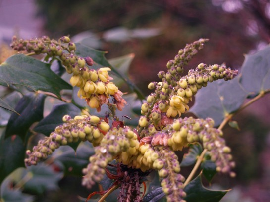 Leatherleaf mahonia in January