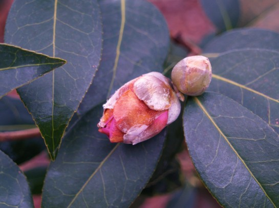 Camellia bud in January