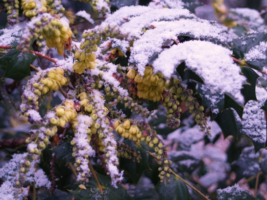 The typically late winter flowering leatherleaf mahonia is not bothered by cold temperatures. It is likely to continue flowering into early March.