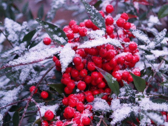 Nandina berries shine through the light snow