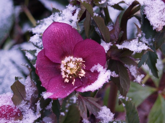 A seedling hellebore flowers despite chilly temperatures