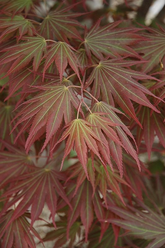 Johin Japanese is a small tree with exceptional autumn foliage.