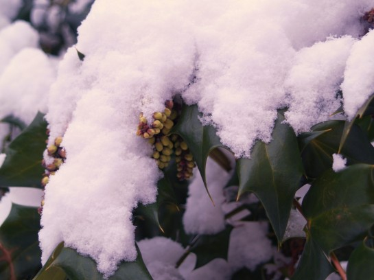 Yellow flowers on Leatherleaf mahonia peek out from beneath a cover of snow.
