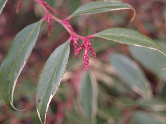 Colorful flower buds on variegated Coast leucothoe bring the promise flowers in early spring.