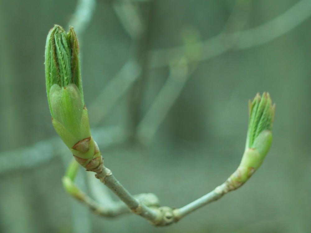 Leaves of the red Horsechestnut begin to open in mid March.