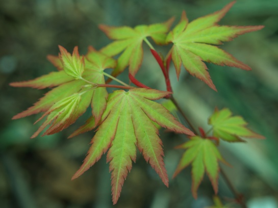 Orange Dream Japanese maple grew nicely last year in a container beside the koi pond. With maples grown in containers, the gardener can easily relocate the pots to best suit the needs of various maples.