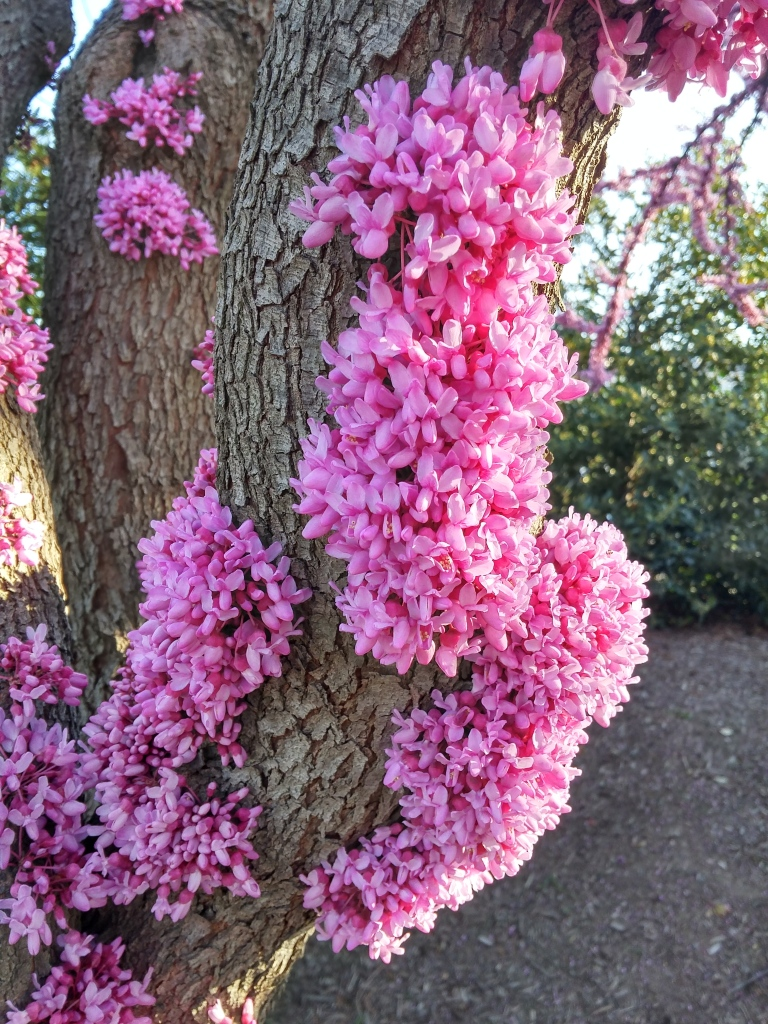 Redbud flowers are densely clustered where branches were pruned from storm damage years ago.