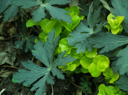 Seedlings of the dark leafed Espresso geranium combine with Creeping Jenny.