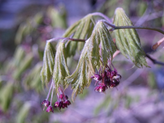 Leaves of the Fernleaf Japanese maple hang limp after the freeze.