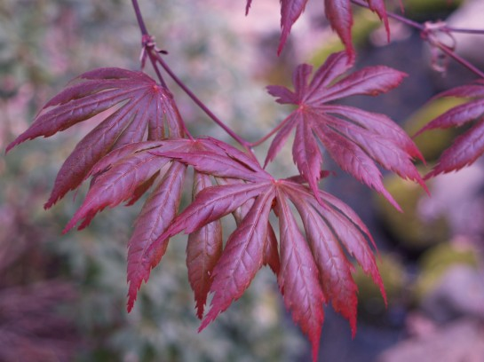 Several Japanese maples were at a stage of growth where leaves were not effected by the freeze at all.