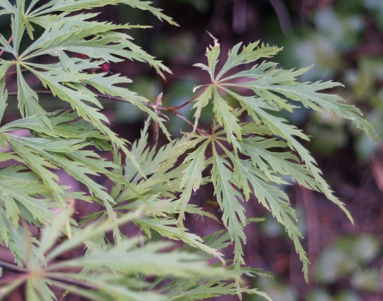A week ago the new leaves of Viridis Japanese maple were hanging limply. Today, a few brown leaves must be removed, but the tree shows little sign of the cold injury.