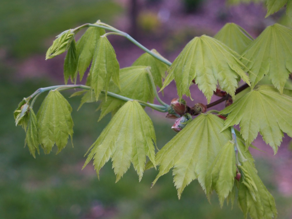 Leaves of the Golden Full Moon maple had just begun to emerge, so they were npt damaged at all.