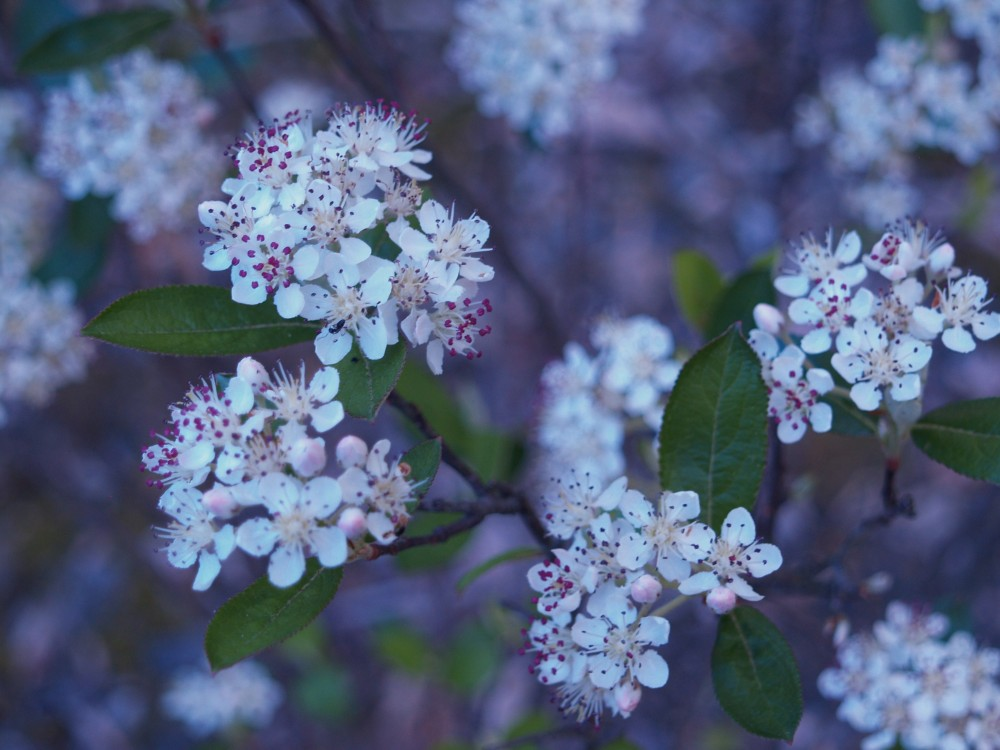 The only downside of black chokeberry is that it must be protected from deer. To do this I must wade through ankle deep muck , and so deer nip the flowers and the few black berries.