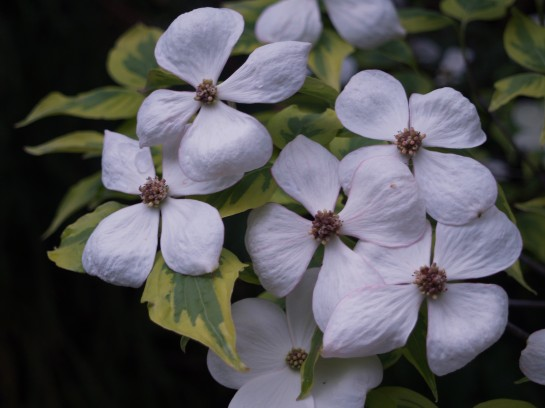 Celestial Shadow dogwood