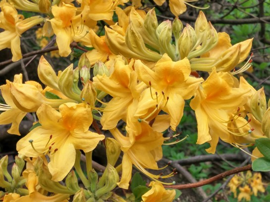 Many of the deciduous azaleas are brightly colored and very fragrant.