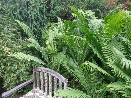 A few Ostrich ferns have spread to fill this two hundred square foot area, though they are easily controlled when they spread too far.