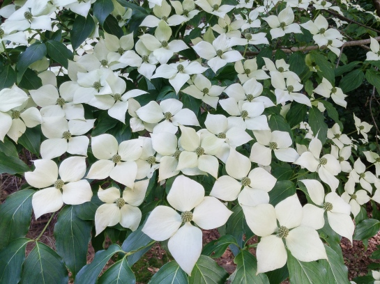 In part sun, flowering is much heavier on this Kousa dogwood