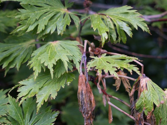Two weeks after the freeze most leaves of this Fernleaf Japanese maple have revived alongside leaves that were damaged.