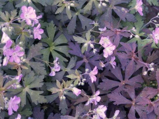 Seedling geraniums