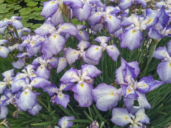 The earliest of the Japanese irises are blooming at the edges of the koi pond. In another week other cultivars will flower, and others will bloom for another several weeks.