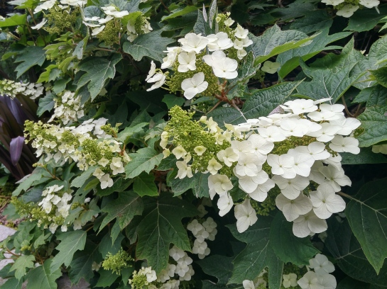 Sprawling Oakleaf hydrangeas at the edge of the koi pond must be pruned so that neighboring shrubs and perennials are not overwhelmed.