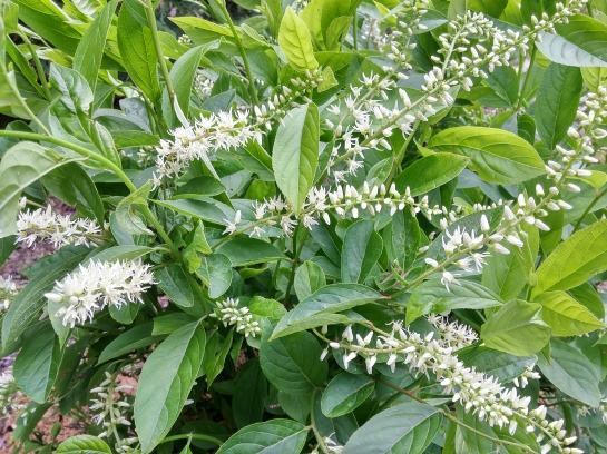 Itea 'Henry's Garnet' flowering in early June in damp soil in the lower garden.